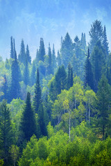 FototapetaForest of Pine Trees in Mountains Landscape Lush Green Growth Foliage