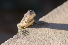 Small Lizard On The Edge Of A ...