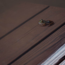 Tiny Green Frog On Wooden Dock