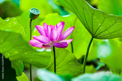 Staande foto Lotusbloem Beautiful Da Helian lotus in Tode Park taipei taiwan
