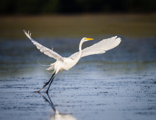 Great White Egret Taking Fligh...