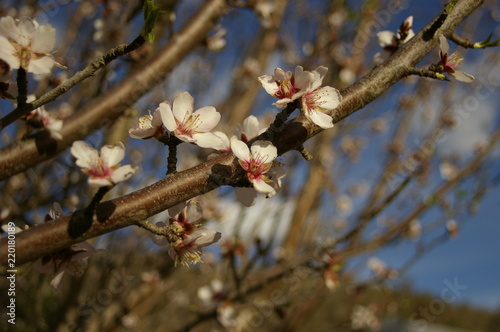 Photo  bright white and pink almond blossoms and buds on a tree in a rural garden just