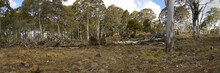 Row Of Chopped Down, Cleared And Bulldozed Tree's On A Rural Property, New  South Wales, Australia