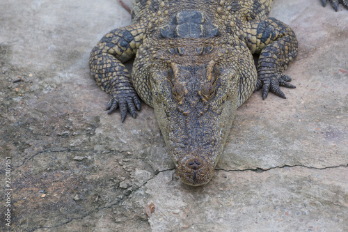 Tuinposter Krokodil Close-up of Head crocodile, alligator i