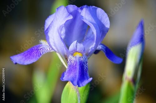 magic iris