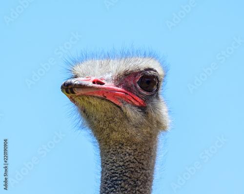 Foto op Plexiglas Struisvogel Ostrich Portrait