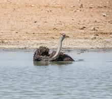 Ostrich In Water