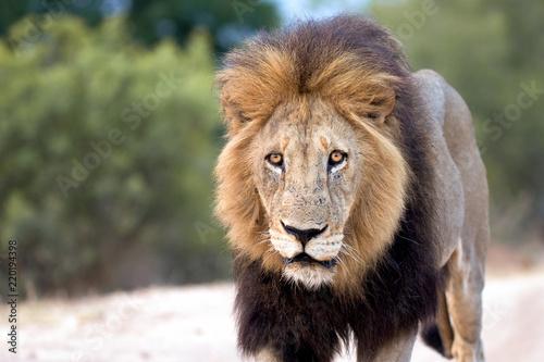Fotobehang Leeuw male lion