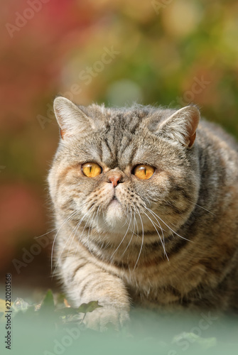 Exotic Shorthair cat lying in wait in an autumnal garden
