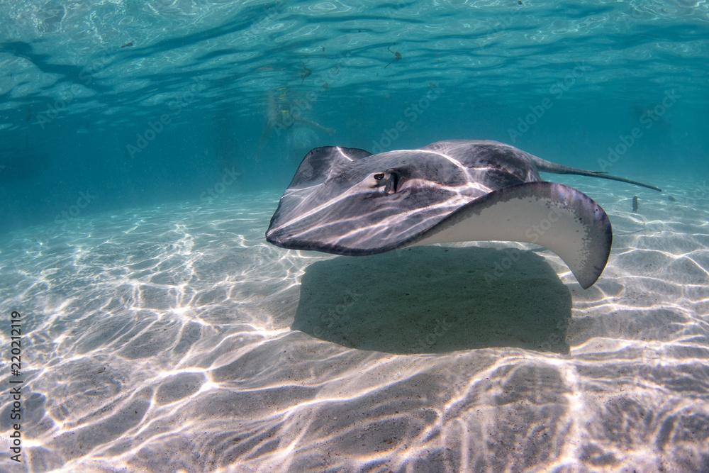 Fototapeta Stingray in french polynesia
