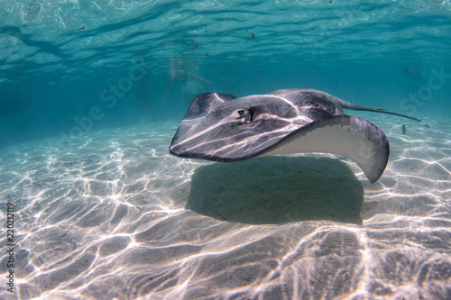 Fotografia, Obraz Stingray in french polynesia
