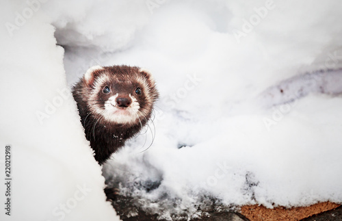 Vászonkép  Mustela putorius furo, walking in the snow