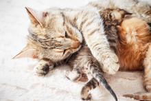 Mother Cat Nursing Baby Kittens, Close Up