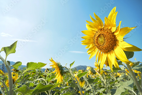 In de dag Narcis Blooming sunflowers in the fields against the blue sky