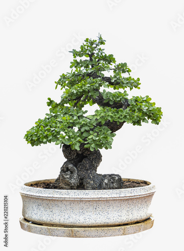 In de dag Bonsai Bonsai tree isolated on white background.