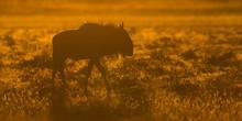 Backlight Wildebeest