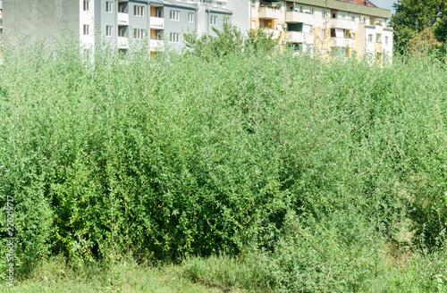 Green plant Ambrosia artemisiofolia - common annual low ragweed bush near the ci Tableau sur Toile