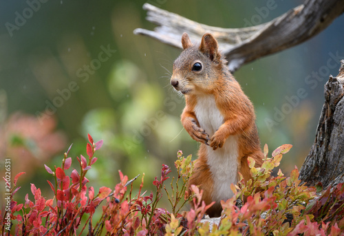 Fotobehang Eekhoorn Red squirrel (Sciurus vulgaris) in fall