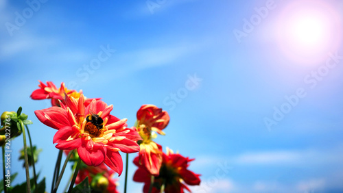 In de dag Dahlia Dahlia flowers in close up or macro images which have a bright red color and light blue sky and flare sunlight in summer day of Furano Hokkaido Japan.