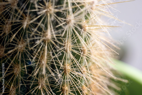 Needles of green cactus close up, macro photo