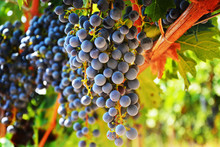 Large Bunch Of Red Wine Grapes...