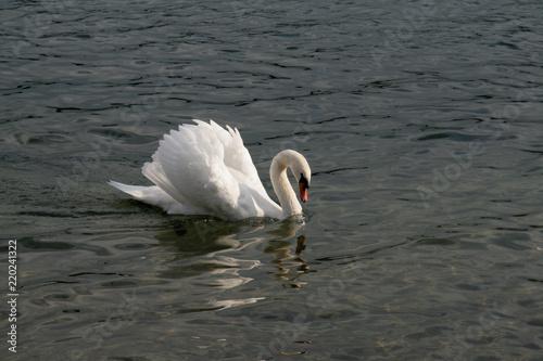 Keuken foto achterwand Zwaan Mute swan in lake