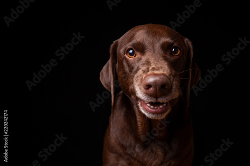 Brown Labrador Dog Showing Teeth Like Funny Smile on Black Background Canvas Print