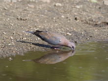 Laughing Dove, Streptopelia Se...