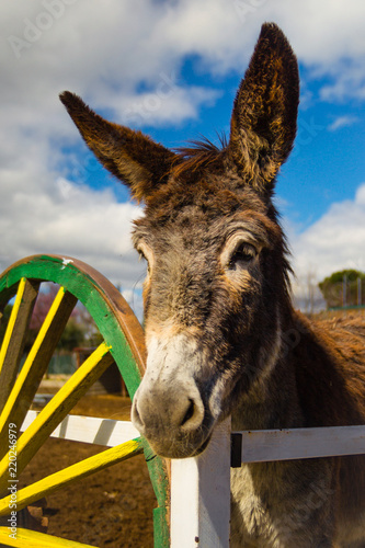 Spoed Foto op Canvas Ezel Beautiful brown young donkey waiting for carrots in a farm