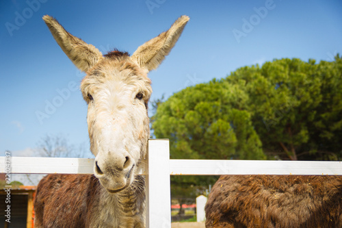 Deurstickers Ezel Lovely grey and white donkey at the fence