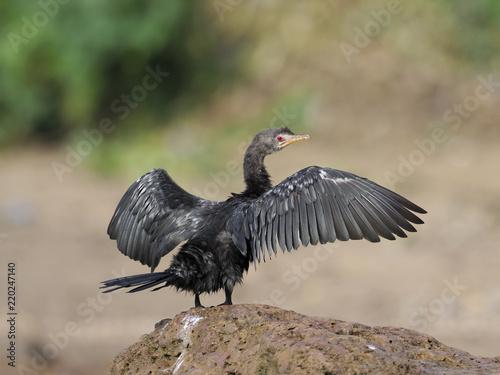 Wallpaper Mural Long-tailed cormorant, Phalacrocorax africanus