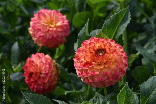 Pink Dahlia flower, dahlias in garden.