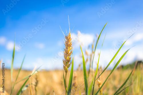 Deurstickers Cultuur Finnish wheat field. Kajaani, Finland