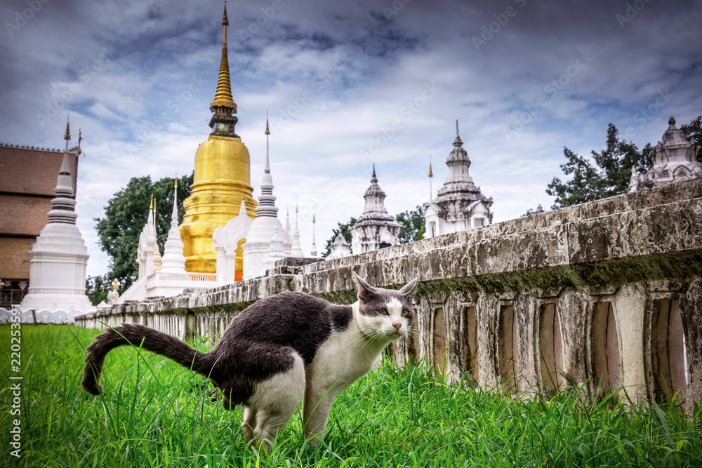 Fototapety, obrazy: Black and white cat in Thai Temple