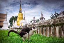 Black And White Cat In Thai Te...