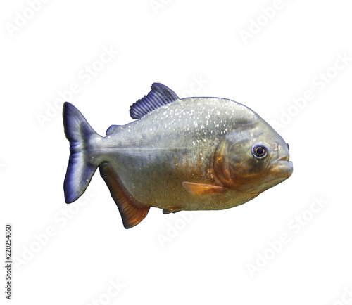 Obraz na plátně  The piranha fish on white background isolated