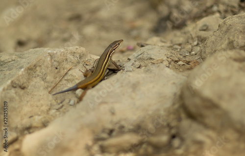 Photographie  A close up of a lizard with his tail broken