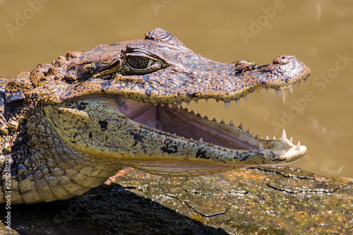 Photo  A smiling crocodile with flies in Tortuguero national park - Costa Rica