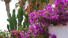 Violet Bougainvillea In Bloom ...