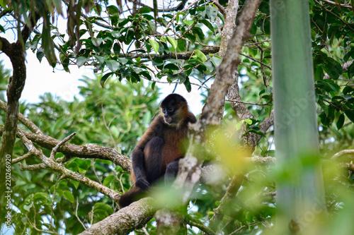 Fotografía  Wild monkey in its habitat