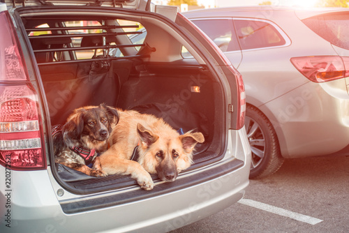 two dogs lying down in a car trunk