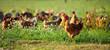 Poulets d'élevage en plein air, volaille en campagne