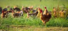 Poulets D'élevage En Plein A
