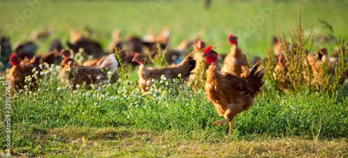 In de dag Kip Poulets d'élevage en plein air, volaille en campagne