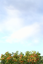 A Snowball Tree And A Cloudy Sky. Background. A Vertical Image. Green Branches With Orange Berries Are Located At The Bottom Of The Frame.