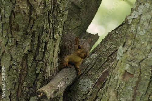 Zdjęcie XXL Iowa Fox Squirrel (Sciurus niger) klaszcząca przed kamerą w parku Riverside w Guthrie Center