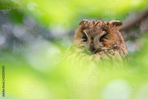portrait of a sleeping long eared owl in the tree surrounded by soft green blurry leaves