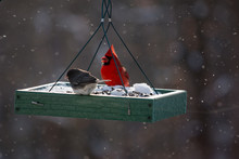 A Male Red Cardinal And Junco ...