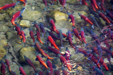 Kokanee salmon spawning in river
