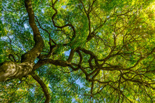Japanese Maple Tree Canopy In ...